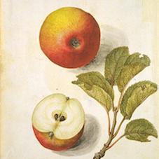 Botanical Illustration of Apples