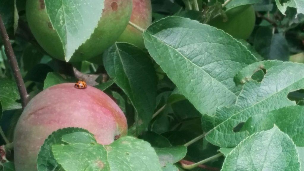 ladybugapple